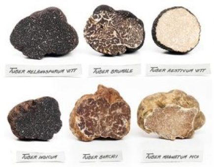What exactly are white or black truffles