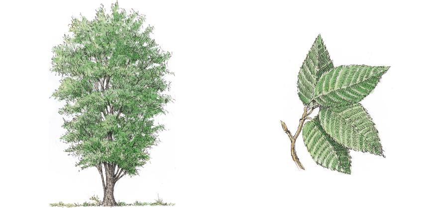 Durmast Oak (Quercus petraea)