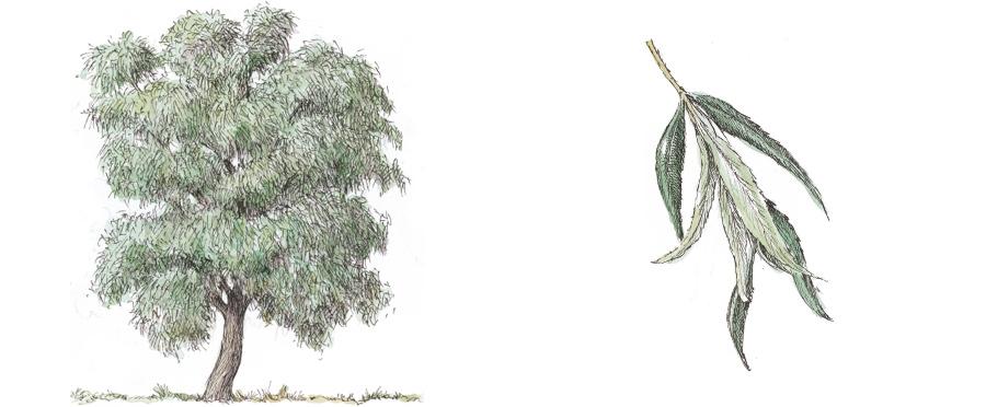 salice-bianco