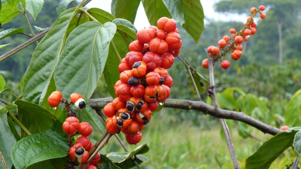 picture of a guarana plant comparing the amount of caffeine to dicaffeine malate and caffeine anhydrous