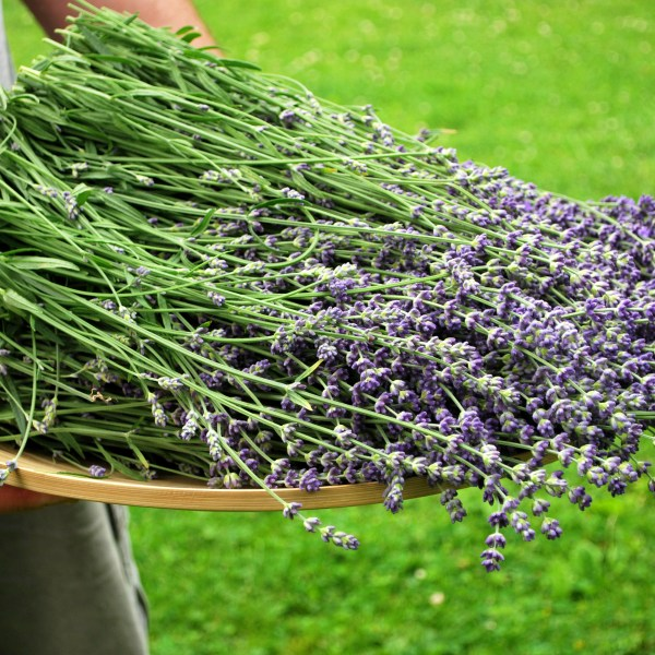 Smudge Sticks Lavender Stalks