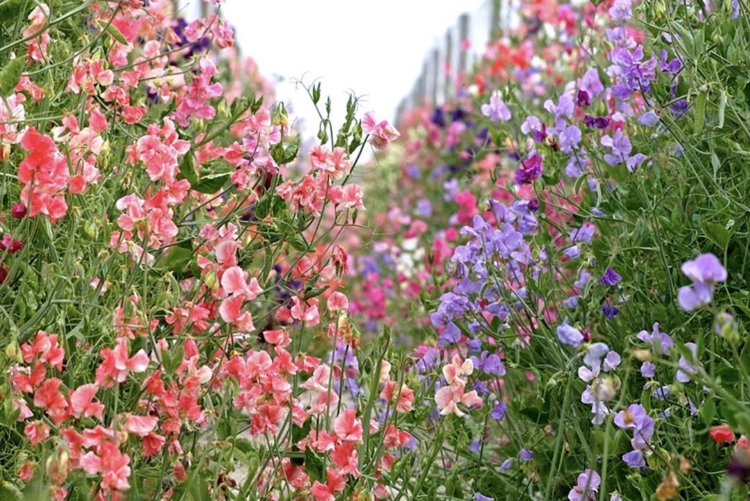 bouquet, sweet pea, flower garden, nature