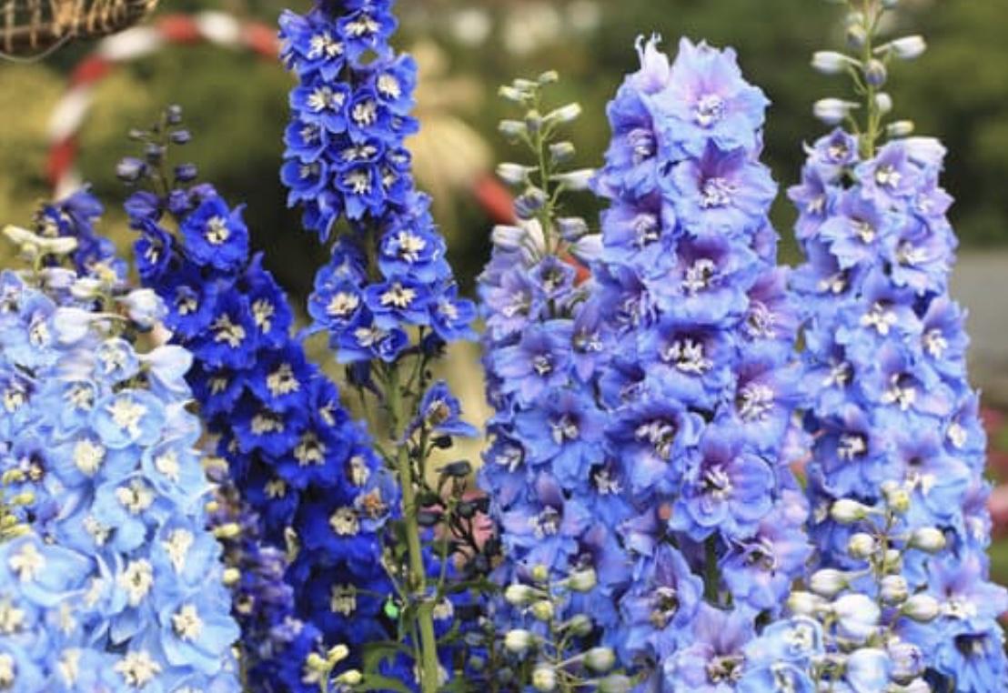 larkspur, bouquet, delphiniums, flower garden, nature