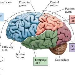 Frontal Brain Diagram No Labels Internal Phone Wiring Lateral View Of The Neurodiagnostics Eeg
