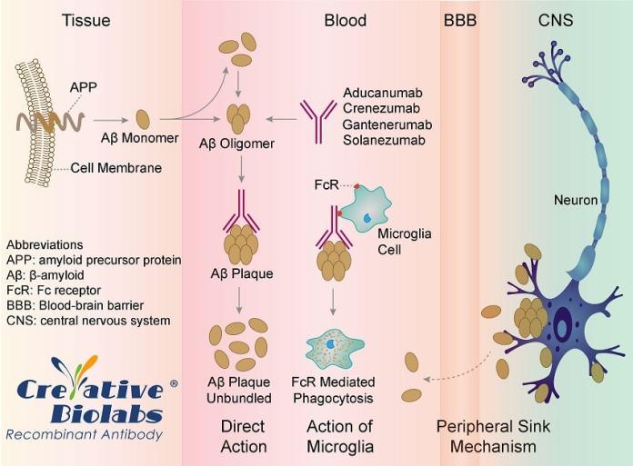תרופה חדשה לחולי דמנציה ואלצהיימר: התרופה בדרך לאישור Aducanumab for Alzheimer's Fonctionnement-aducanumab