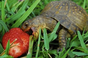 Tortoise eating a Strawberry in the grass