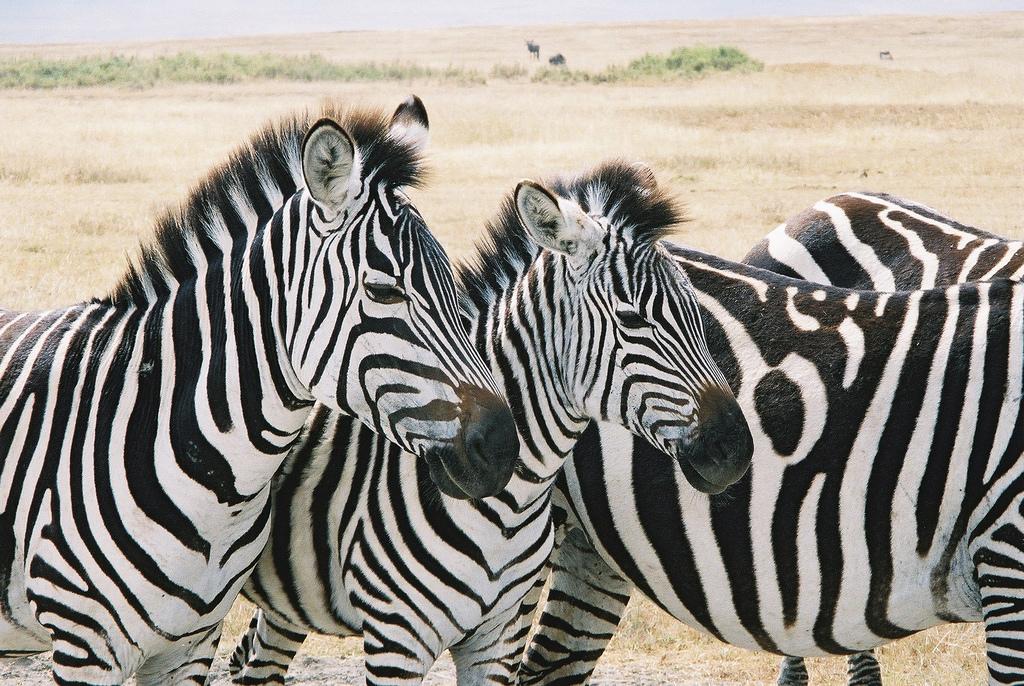 zebras-1