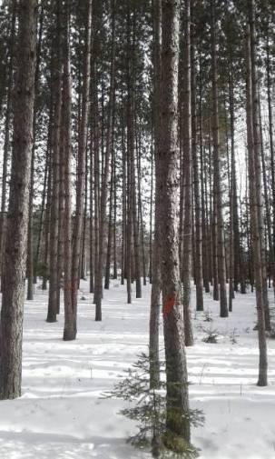 thinning pines.jpg