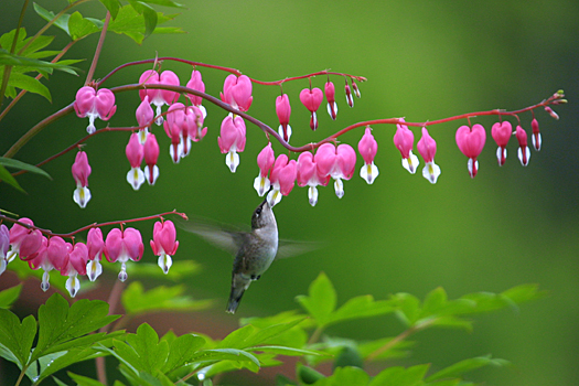 Hummingbird feeding at a bleeding heart bloom in Harveys Lake, PA