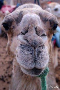 camello-camel-desierto-desert-viaje-trip
