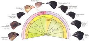 Darwin's finches 1