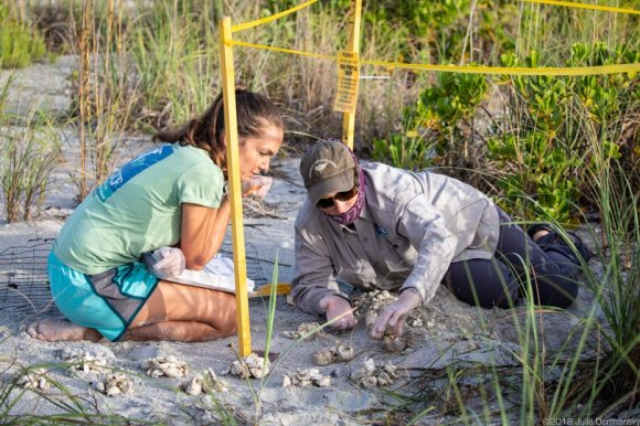 Kelly Sloan and Audrey Albrecht counting sea turtle eggs three days after hatchlings made their way to the Gulf of Mexico.