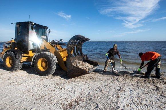Temporary workers raking dead fish off the beach on Sanibel Island.