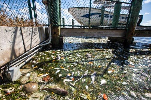Fish kill on the bay side of Sanibel Island.