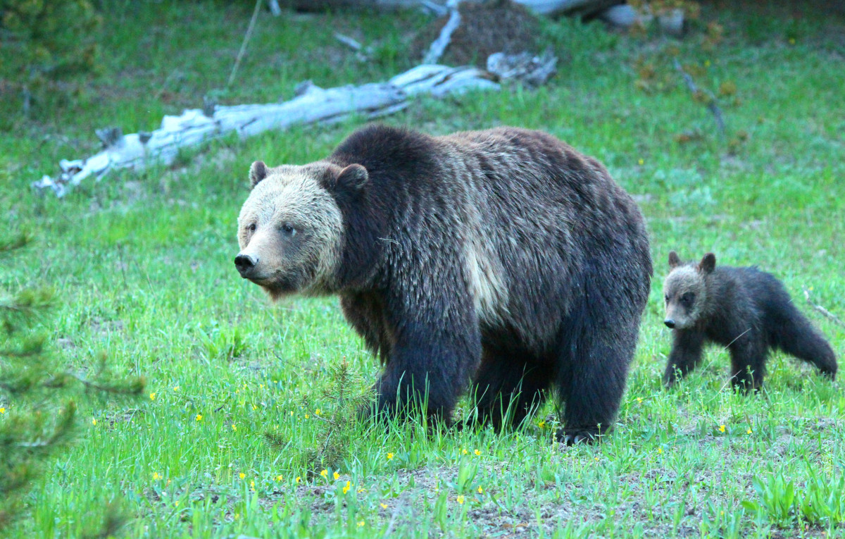 yellowstone grizzly bears spared