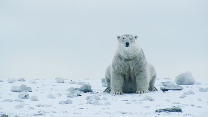 A polar bear sits in the snow and stares at the camera against a grey sky