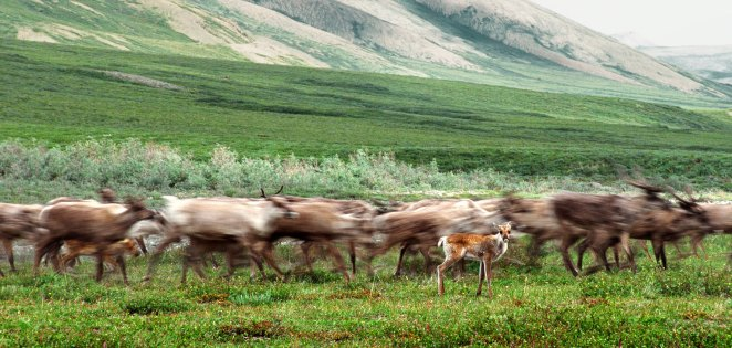 Porcupine caribou are blurred in their movement as a single calf pauses to look at the camera
