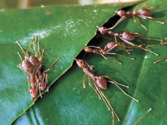 Муравьи-ткачи скрепляют листья для гнезда