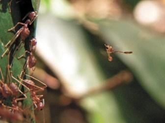 Оса-хальцид наблюдает за муравьями