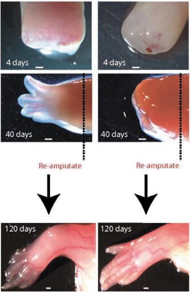 Влияние макрофагов на регенерацию лапки Аксолотля. Пунктиром показана линия отреза. Левый столбец — контрольные животные, правый — Аксолотли, у которых до ампутации «вывели из игры» макрофаги. Иа четвертый день у контрольных животных образуется бластема — скопление клеток, пронизанное кровеносными сосудами, а у подопытных — фиброзная ткань. Без макрофагов регенерация не идет, на месте отрезанной конечности образуется культя. Но после повторной ампутации из нее вырастает нормальная конечность. (Рисунок из статьи)