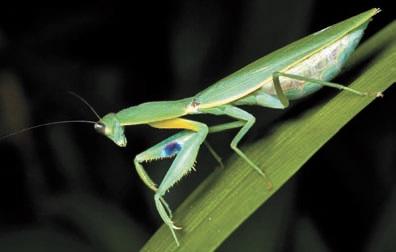 Orthodera novaezealandiae. отличительныЙ признак вида — голубые пятна на передних ногах