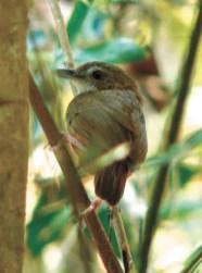Mышиная тимелия (Malacocincia abbotti)