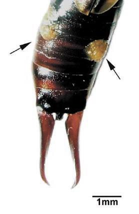 Самка обыкновенной уховертки Forаicula auricularia во вcеоружии. Желтые хиноновые выделения брюшных желез показаны cтрелками (фото из Статьи)