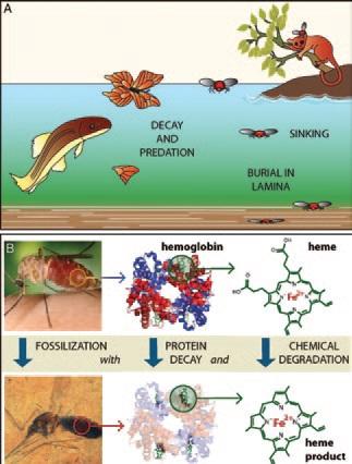 А - Крупных насекоммых, попавших в пруд, раздирают на части и поедают, а маленькие тонут и увязают в донных осадках. В - Пока комар был погребен в сланцах, белковая часть гемоглобина в его желудке распалась, но остался гем, несколько изменившийся в процессе фоссилизации. Рисунок из статьи Briggs DEG (2013) Proc Natl Acad Sci USA 110: 18353-18354