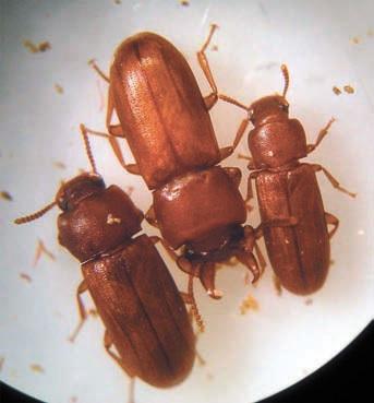 Самец мучного хрущака Gnatocerus cornutus с двумя самками (http://desinsectador.com/)