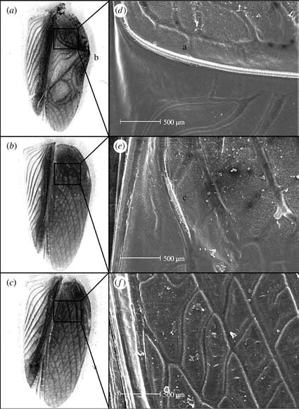 Электронная  микрофотография крыльев T. oceanicus у нормальных самцов (а), самцов flatwing (в) и самок (с). (Фото из статьи Zuk et al.)