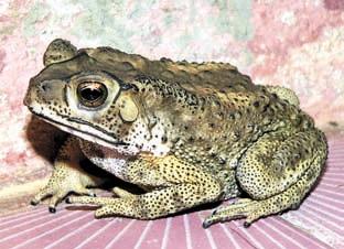 Чернорубцовая жаба  (Bufo melanostictus) — кормовой объект ужа и источник токсинов