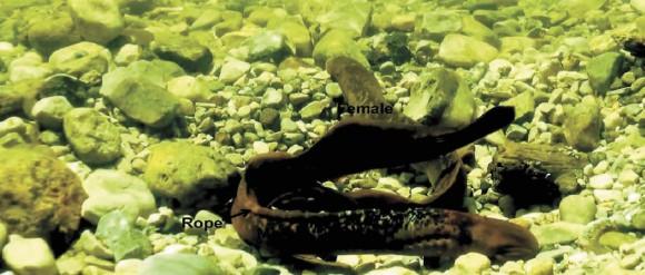 "Морские миноги Petromyzon marinus, он и она Yu-Wen Chung-Davidson et al., ""A thermogenic secondary sexual character in male sea lamprey"", The Journal of Experimental Biology 2013, 216, 2702-2712, doi:10.1242/jeb.085746"
