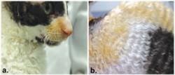 (а) У корниш-рекса усы завитые, короткие и ломкие, волосы на мордочке короткие и прямые. ( в) тело, ноги и хвост покрывает короткая волнистая шерстка (Gandоlfi et al., 2013)