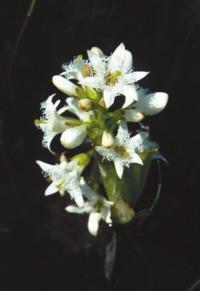 Вахта (Meryanthes trifoliata)