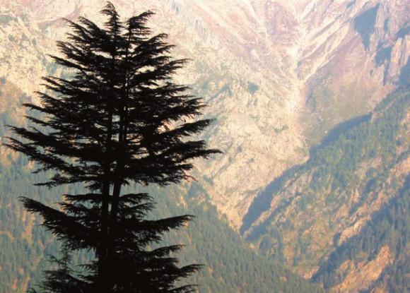 Кедр в природном интерьере Гималаев. Кальпа (2800 м н.у.м.). 4 октября 2011 года. Фото А. Норко