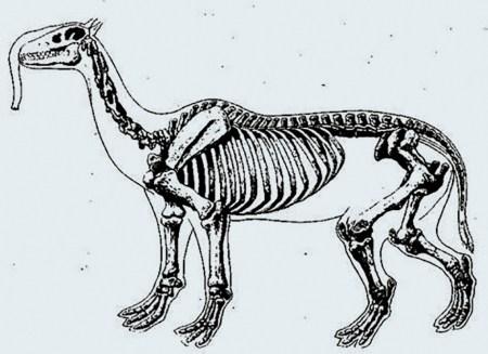Скелет макраухении
