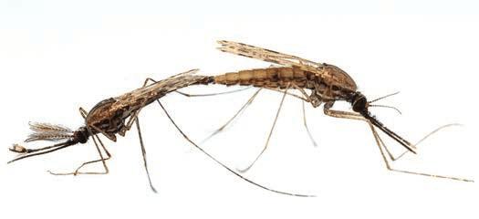 Малярийные комары Anopheles gambiae (самка справа). Изображение www.fotografonaturalista.com/anopheles