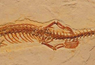 Рис. 3. Задние лапы Tetrapodophis amplectus с пятью длинными пальцами — http://news.sciencemag.org