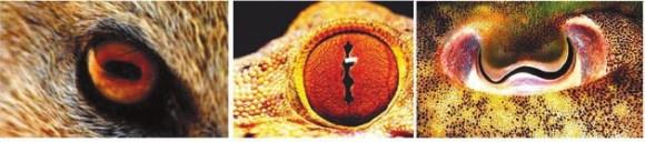 Рис. 3. Зрачки желтого мангуста Cynictis penicillata, мадагаскарского вельветового геккона Blaesodactylus boivini и каракатицы Sepia officinalis