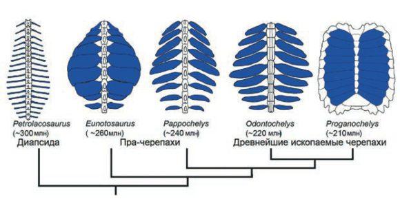 Рис. 1. В ходе эволюции из расширившихся ребер первых черепах сформировался панцирь. Из [3] с модификацией