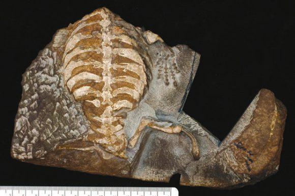 Рис. 3. Отпечаток Eunotosaurus africanus (хвостом к зрителю). Длина черепашки около 15 см (http://phys.org/)
