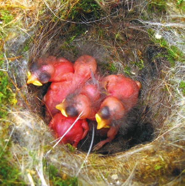 Фото 2. Птенцы в гнезде