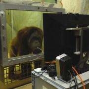 1. Чтобы удержать обезьян перед монитором, им давали сосать сок через трубочку (http://theconversation.com)