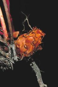 Протея сердцелистная: бурое соцветие, опыляемое мышами