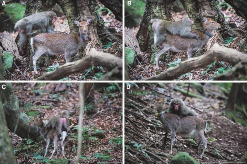 Половое поведение самца японского макака. A–C — самец вскочил на первую самку оленя, она стояла с полным безразличием; D — макак попробовал овладеть другой самкой, но она явно была недовольна и сбросила приставучую обезьяну (Pelé et al., 2017)