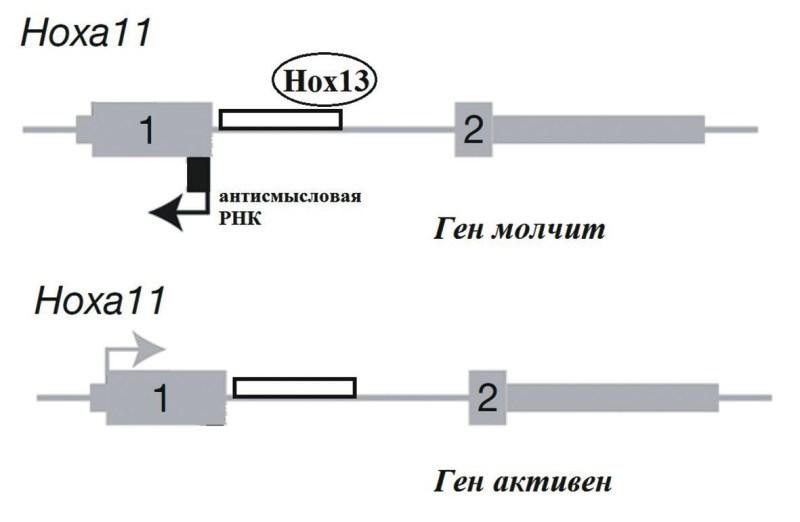Рис. 3. Регуляция работы Ноха11. Белки Ноха13/Нохd13 взаимодействуют с энхансером, расположенным в интроне, и инициируют транскрипцию антисмысловой РНК, которая блокирует экспрессию гена. Цифрами обозначены экзоны