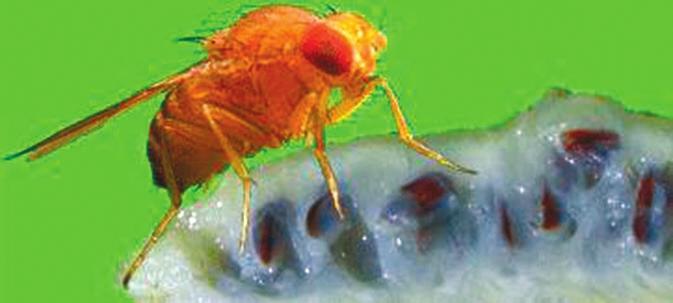Drosophila sechellia на ломтике плода нони http://taxo4254.wikispaces.com/