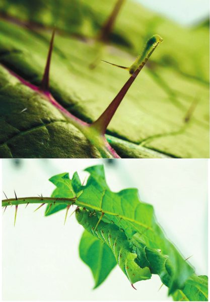 Рис. 3. Шипы на растении мешают ползать как большим гусеницам, так и маленьким (www.quantamagazine.org)