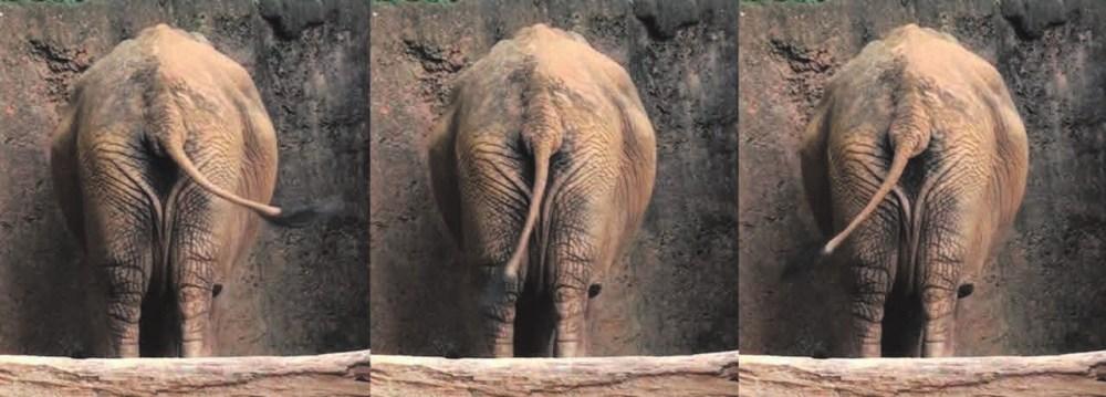 Рис. 1. Слон помахивает хвостом, отгоняя насекомых. Насекомые на видеозаписи не видны, но исследователи полагают, что он машет не просто так [4]