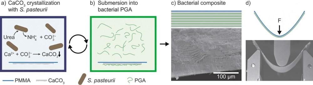 Получение бактериального композита. Рис. из статьи [1]